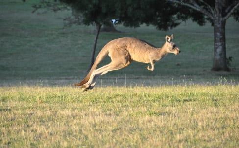 Le kangourou pose problème aux voitures autonomes