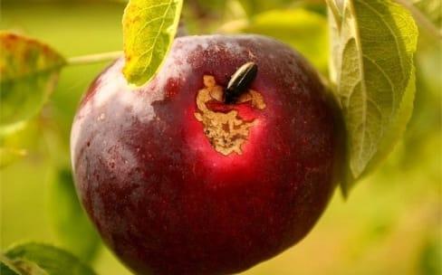 Le programme de chasse aux bugs d'Apple fait un flop